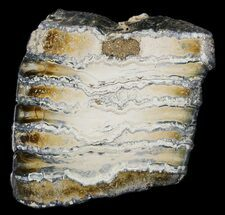 "2.5"" Polished Mammoth Molar Section - North Sea Deposits For Sale, #44105"