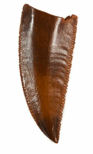 "Serrated, 0.86"" Raptor Tooth - Morocco"