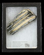"Buy 2.81"" Mammoth Molar Slice - South Carolina - #44086"