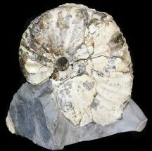 "1.38"" Hoploscaphites Plenus Ammonite - Montana For Sale, #44033"