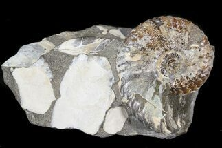 ".93"" Hoploscaphites Ammonite - South Dakota For Sale, #44045"
