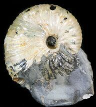 "1.2"" Hoploscaphites Ammonite Fossil - Montana For Sale, #44054"