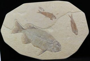 "9.1"" Phareodus & Knightia Fossil Fish - Wyoming For Sale, #44543"