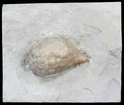 "1.45"" Cystoid (Holocystites) Fossil - Indiana For Sale, #44606"