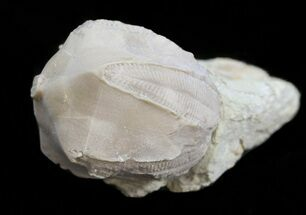 Buy Blastoid (Pentremites) Fossil - Illinois   - #45022