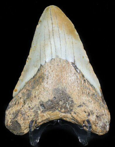"Bargain 4.25"" Megalodon Tooth - North Carolina"