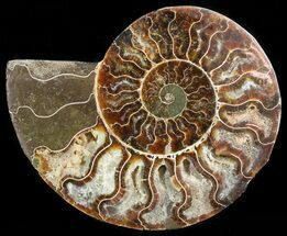 "Buy 4.8"" Agatized Ammonite Fossil (Half)  - #45526"