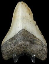 "Buy 3.99"" Megalodon Tooth - North Carolina - #45631"
