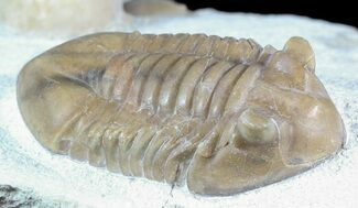 "Buy 2"" Asaphus Kotlukovi Trilobite With Cystoid - #45985"