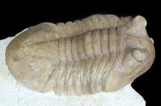 "2.45"" Asaphus (New Species) Trilobite - Russia For Sale, #46016"