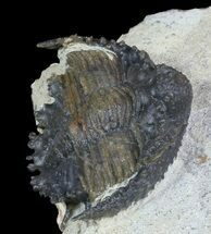 "Buy 1.1"" Akantharges Mbareki Trilobite - Tinejdad, Morocco - #46318"