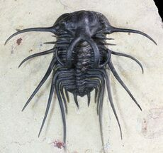 "2.75"" Dicranurus Trilobite - Fully Free-Standing Spines! For Sale, #46448"