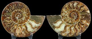 "3.25"" Sliced Fossil Ammonite Pair - Agatized For Sale, #46520"