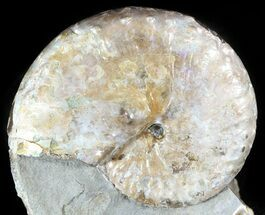 "Buy 2.4"" Iridescent Discoscaphites Ammonite - South Dakota - #46867"