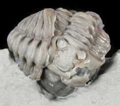 Buy Enrolled Flexicalymene Trilobites - Ohio - #47323