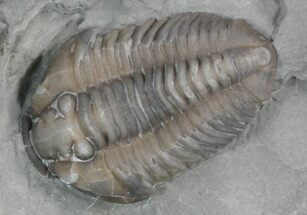 "Buy .73"" Flexicalymene Trilobite From Ohio - #47338"