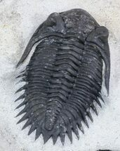 "Buy Detailed, 1.7"" Kayserops Trilobite - #47329"