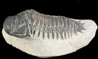 Crotalocephalina gibbus  - Fossils For Sale - #47370