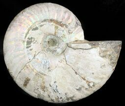 "Buy 5.3"" Silver Iridescent Ammonite - Madagascar - #47497"
