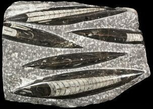"Polished Orthoceras (Cephalopod) Plate - 9.3"" For Sale, #47990"