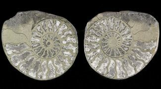 "Buy 1.3"" Pyritized Ammonite Fossil Pair - #48055"