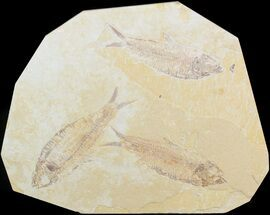 Knightia eocaena - Fossils For Sale - #48120