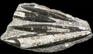 "Polished Orthoceras (Cephalopod) Plate - 8.4"" For Sale, #47984"