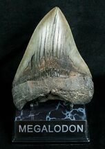 Carcharocles megalodon, South Carolina Coast, 5.51 inches, #4566