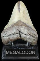 Carcharocles megalodon - Fossils For Sale - #49521
