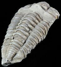 Calymene sp. - Fossils For Sale - #49632