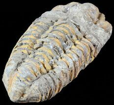 "3.4"" Calymene Trilobite From Morocco For Sale, #49646"