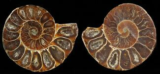 "Buy Small Desmoceras Ammonite Pair - 1.6"" - #49828"