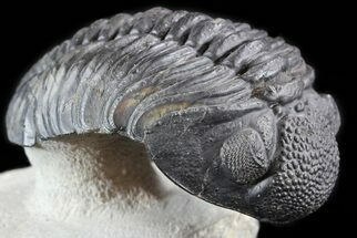 "Buy 4.8"" Bumpy Drotops Trilobite - Excellent Preperation - #50545"