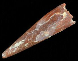 Coloborhynchus moroccensis - Fossils For Sale - #50520