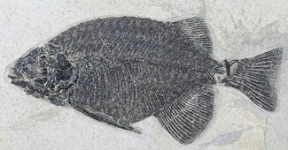 "Excellent 10.3"" Phareodus Fossil Fish - Scarce Species For Sale, #50687"