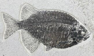"8.8"" Phareodus Fossil Fish - Scarce Species For Sale, #50690"