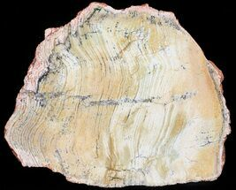 Strelley Pool Stromatolite - Fossils For Sale - #50742