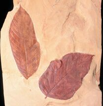 Buy Two Large Fossil Leaves (Browniea, Castanea) - Montana - #50782