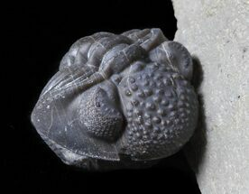 Rare, Enrolled Eifel Geesops Trilobite - Germany For Sale, #50603