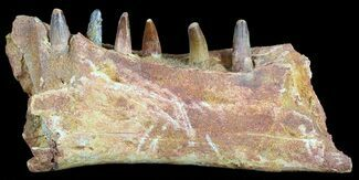 "Buy 6.6"" Spinosaurus Jaw Section - Six Composite Teeth - #50629"