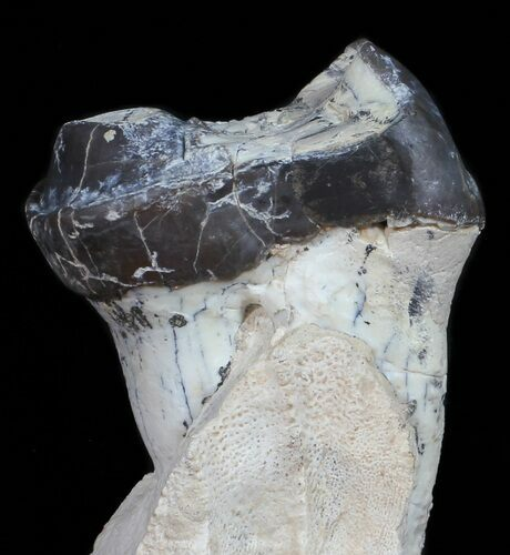 Fossil Brontotherium (Titanothere) Molar - South Dakota