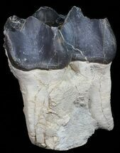 "Buy Large, 4.3"" Fossil Brontotherium (Titanothere) Molar - South Dakota - #50800"