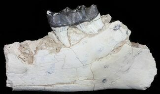"11.5"" Brontotherium (Titanothere) Jaw Section - South Dakota For Sale, #50813"