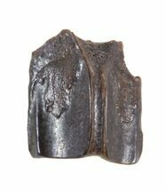 ".29"" Edmontosaurus (Duck-Billed Dinosaur) Shed Tooth For Sale, #50423"