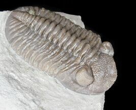 "Buy 2.4"" Prone Eldredgeops Trilobite - Ohio - #50896"