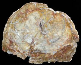 "14.2"" Colorful Petrified Wood Round - Madagascar For Sale, #51269"