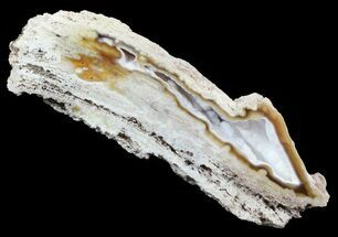 "3.7"" Agatized Fossil Coral Geode - Florida For Sale, #51174"