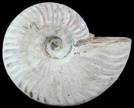 "3.5"" Silver Iridescent Ammonite - Madagascar For Sale, #51500"