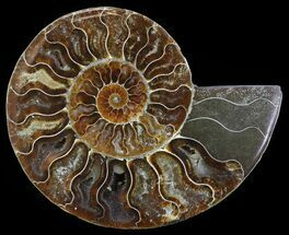 Cleoniceras cleon - Fossils For Sale - #51780