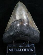 Carcharocles megalodon, South Carolina, 6.03 inches, #4707